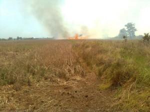 kebakaran lahan padi
